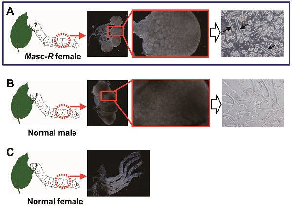 University of Tokyo researchers have found that when embedded a male sex gene into the genome of female silkworms it developed male reproductive glands and started producing sperm.